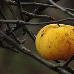 Я напишу про запах спелых яблок