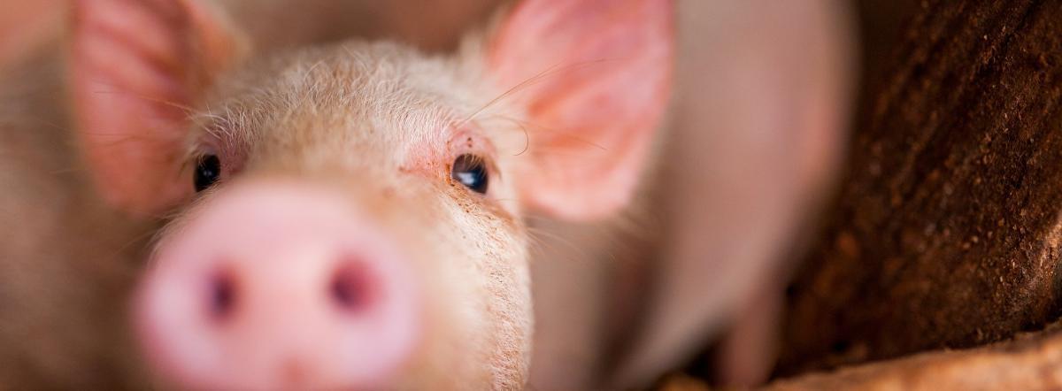 Свинья под Дубом - стихи о животных, крылов