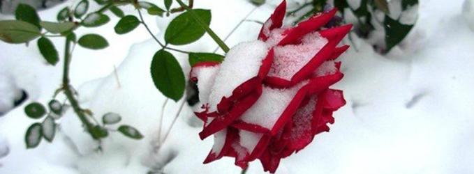 Розы отцветают в Ноябре...