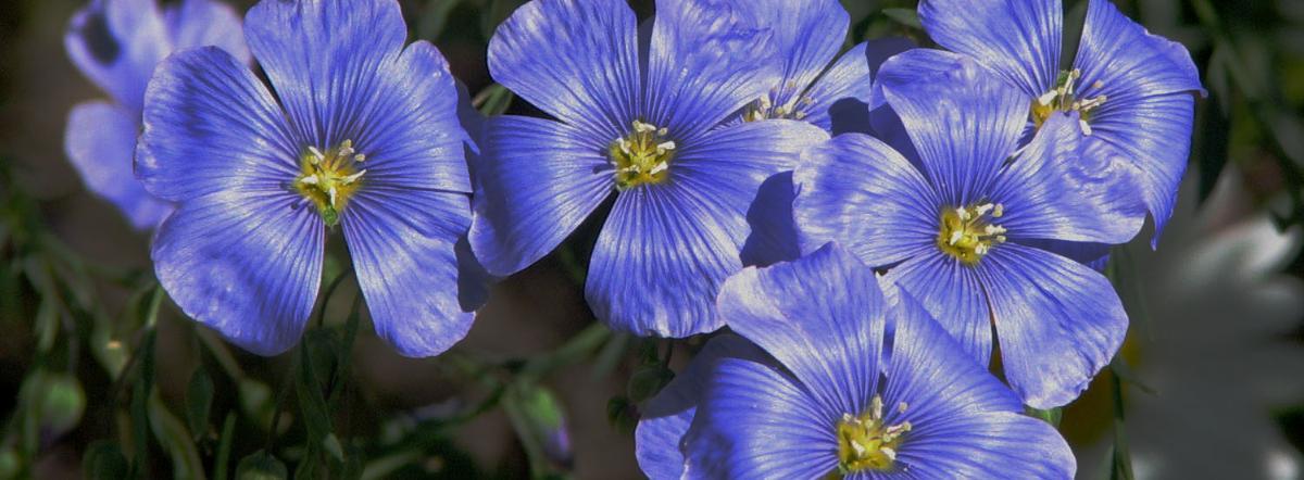 Лён. Лён цвёл чудесными голубенькими цветочками мягкими и... - сказка, андерсен