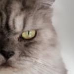 ПРАВИЛА ПОВЕДЕНИЯ КOШЕК ПРИ ПАНДЕМИИ КОРОНАВИРУСА ( автор кот Марины Симоновой, Саша Пушкин)