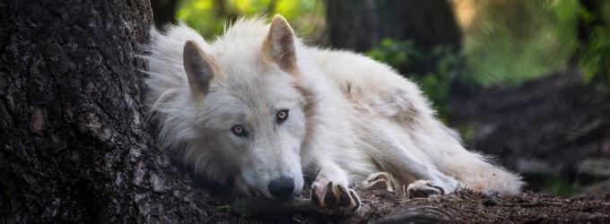 Здесь волчица с тобою просто поговорит