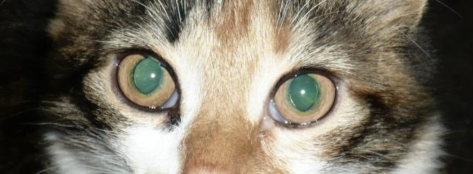 Кошачьи слёзы