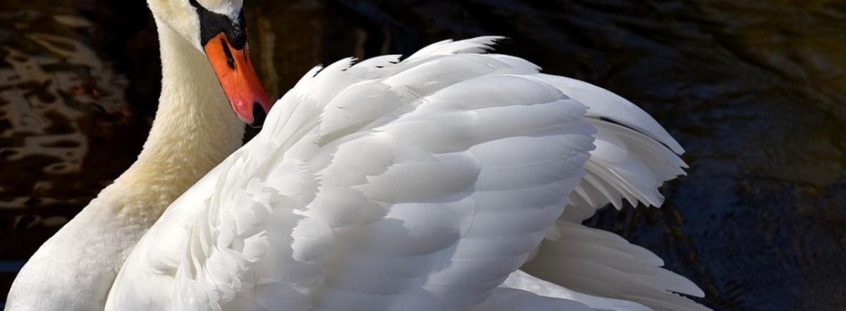 Лебедь - бог, длинные стихи, лирические стихи