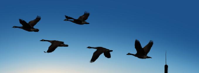 Гуси летели