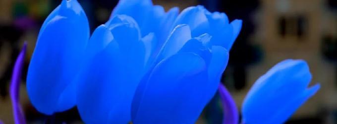 Голубые тюльпанчики