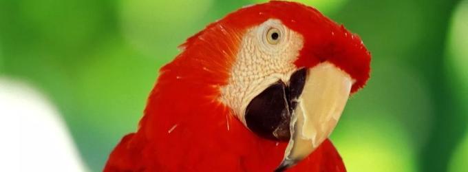 Попугай  Родриго