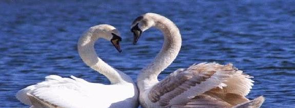 С тобою мы два лебедя на речке