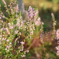 Цветок Вереска