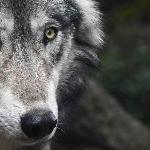 Иван Царевич и Серый Волк краткое содержание