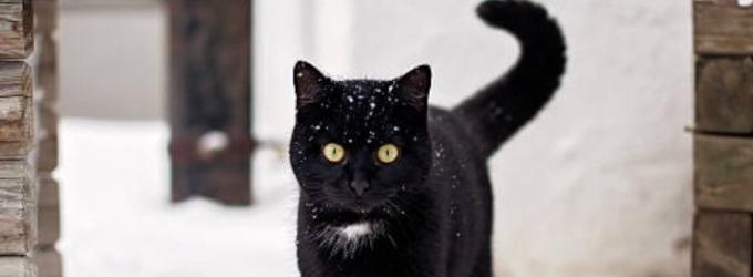 Черная кошка на белом снегу