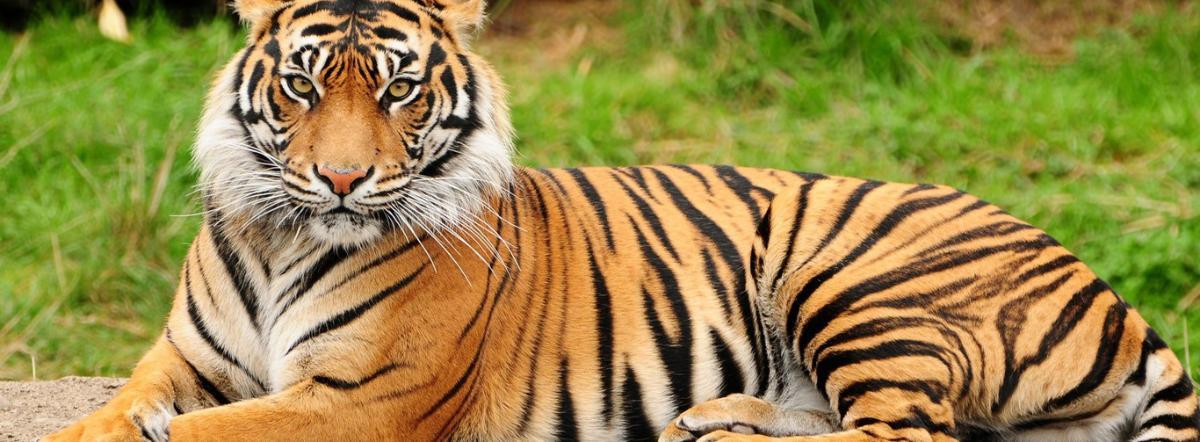 Тигр! Тигр! - редьярд киплинг, сказка