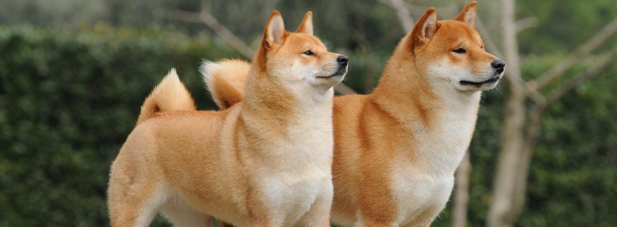 Рыжие собаки