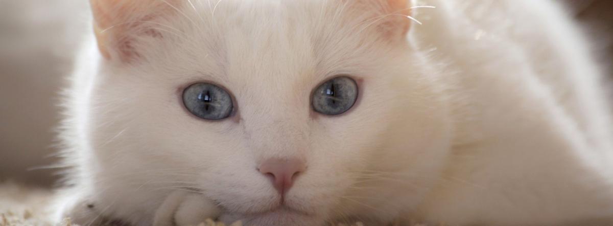 Белый котик - сказка, киплинг