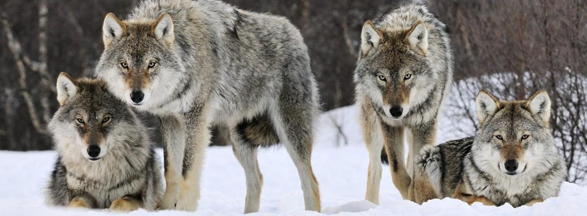 Волки! краткое содержание