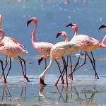 Песенка розовых фламинго