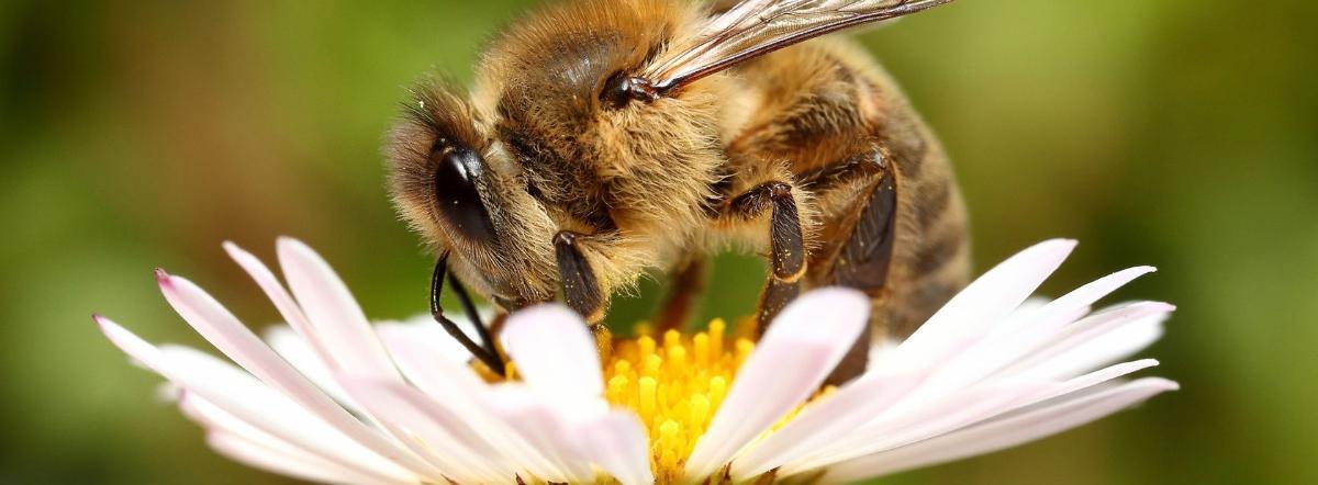 Царица пчел