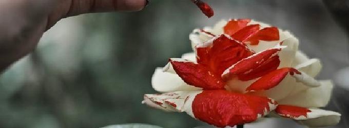 Роза родом из зим холодных