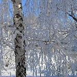Берёза снегом запорошена...