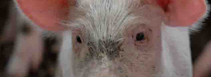 Пьяная свинья из Литвы