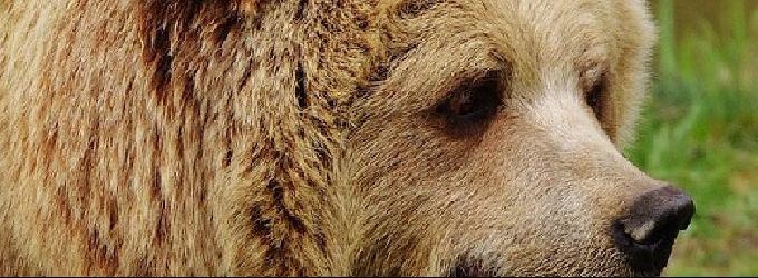 Сбежал из Латвии медведь