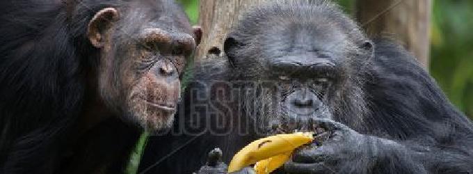 Что сближает шимпанзе?