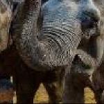 Слоны из Якутска