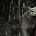 Волчья песня