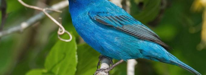 Синей птицы силуэт