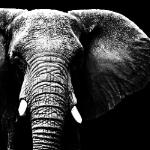 к ослепшим слонам