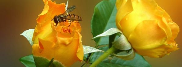 Роза и муха