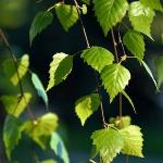 На деревце висел засохший лист