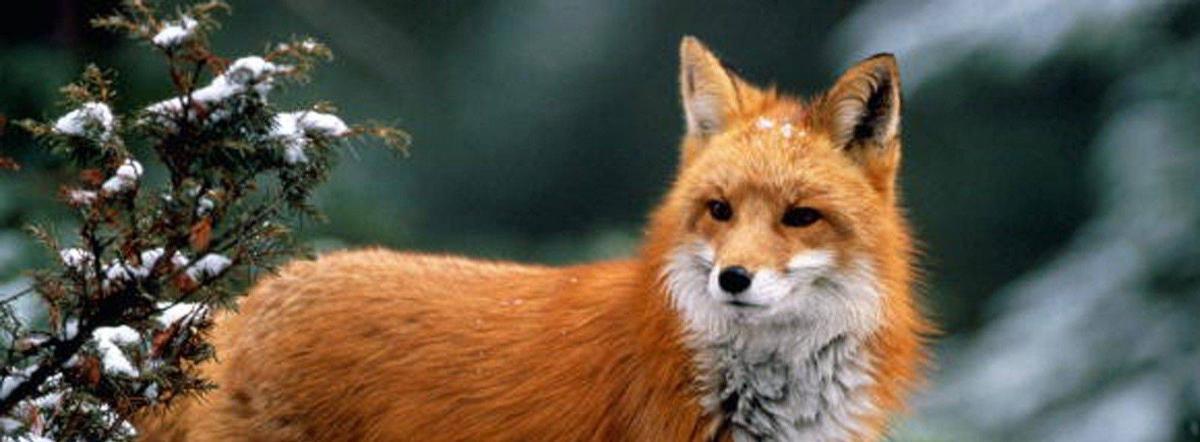 Лазоревый лис