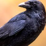 Про Воронушку-чёрную головушку и жёлтую птичку Канарейку