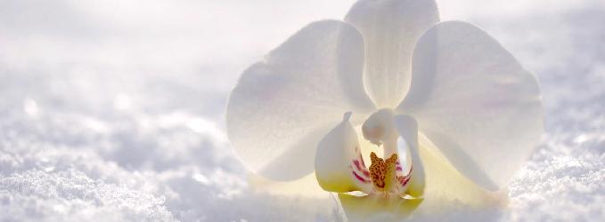 Хрупкая орхидея