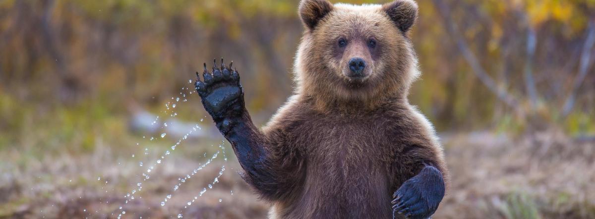Медведь на воеводстве краткое содержание