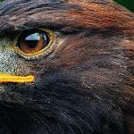 Орел-меценат краткое содержание