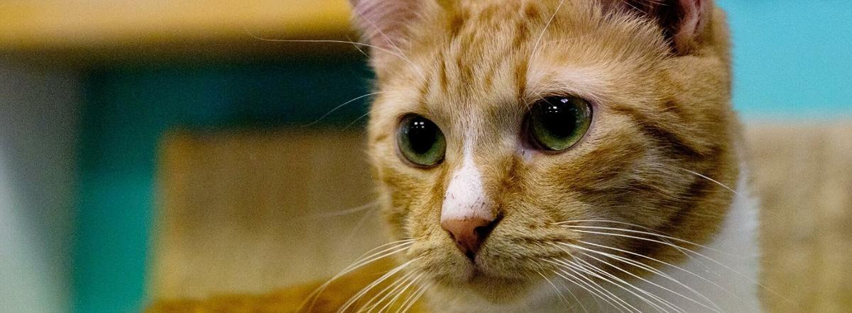 Капризная кошка - сутеев владимир григорьевич, сказка