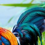 Петух и краски