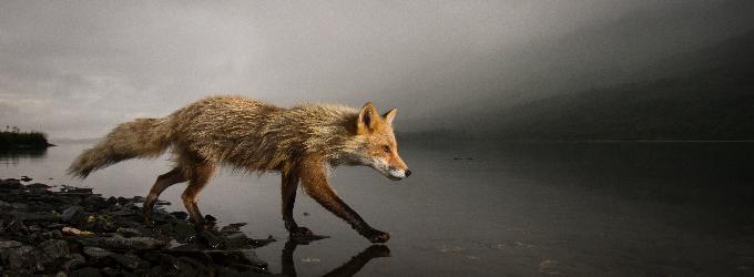Сумрачная лиса
